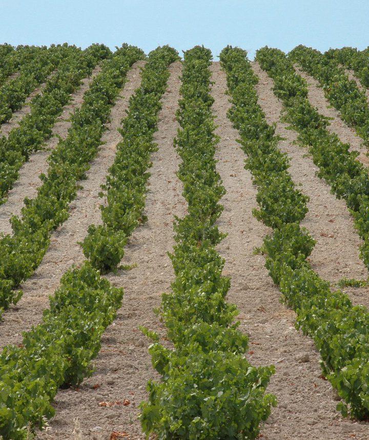 Gdzie możemy zobaczyć słynne winnice?
