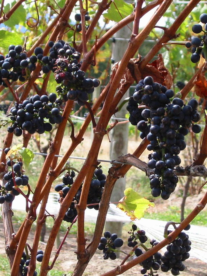 Mity na temat wina – o dylematach gospodarza uroczystości