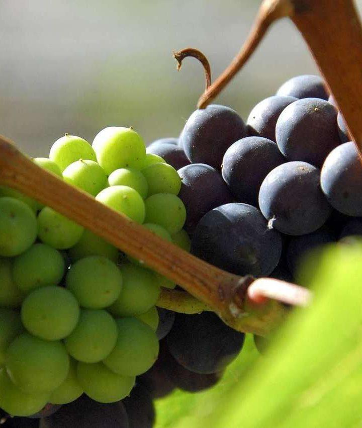 Winiarstwo na kontynencie afrykańskim